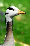 Portrait bar-headed Goose Royalty Free Stock Photo