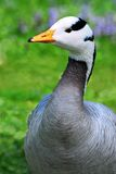 Portrait bar-headed Goose Royalty Free Stock Images