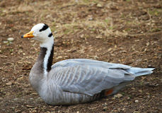 Portrait bar-headed Goose Geese Royalty Free Stock Images
