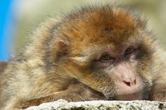 Portrait of a barbary ape. Looking straight at the camera Royalty Free Stock Images
