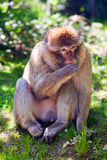 Barbary ape. Portrait of a Barbary ape on the summer meadow Royalty Free Stock Images