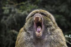 Barbary ape yawning Macaca sylvanus stock photography
