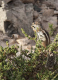 Portrait of a Barbary ground squirrel. (Atlantoxerus getulus) at playa barca Fuerteventura Canary Islands, Spain Stock Photos