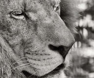 Portrait of a Barbary lion (Panthera leo leo) Stock Photo