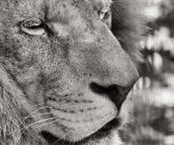 Portrait of a Barbary lion (Panthera leo leo). Black and white photo of Barbary lion (Panthera leo leo Stock Photo
