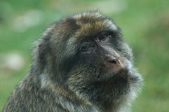 Portrait of barbary macaque Stock Photo