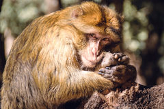 Portrait barbary macaque monkey on a stub, Ifrane, Morocco Stock Photography