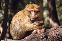 Portrait barbary macaque monkey on a stub, Ifrane, Morocco Stock Photos