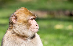 Portrait of a Barbary Macaque Royalty Free Stock Image