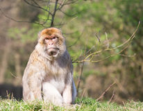 Portrait of a Barbary Macaque Stock Photos