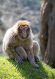 Portrait of a Barbary Macaque Royalty Free Stock Photography