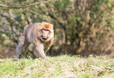 Portrait of a Barbary Macaque Stock Photography