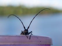 Portrait of barbel. Beetle barbel close up on a mug royalty free stock images