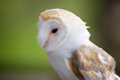 A portrait of a barn owl Stock Photography