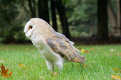 Portrait of barn owl Stock Image