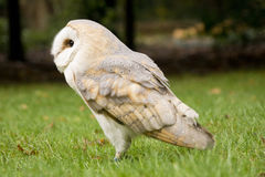 Portrait of a barn owl Stock Photo