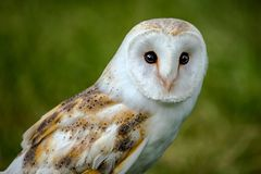 Portrait of a Barn Owl looking straight forward into the lens of royalty free stock images
