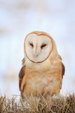 Portrait of a Barn Owl. Barn owl standing on the ground listening for the sound of prey nearby Royalty Free Stock Photography