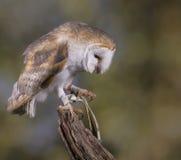 Portrait of a Barn Owl Stock Photos