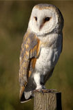 Portrait of a Barn Owl Royalty Free Stock Images