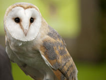 Portrait of a barn owl. (Tyto alba Royalty Free Stock Image