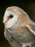 Portrait of a barn owl Royalty Free Stock Photography