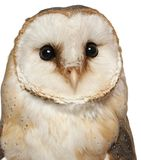 Portrait of Barn Owl, Tyto alba, in front of white background stock image