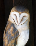 Portrait of a Barn owl (Tyto alba). Barn owl (Tyto alba) perched on a post Royalty Free Stock Images