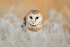 Portrait of Barn Owl (Tyto alba) sitting on the rime white grass in the winter morning light sun Stock Images