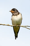 Portrait of barn swallow Stock Photos