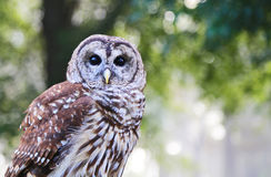 Portrait of Barred Owl Stock Image