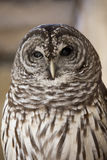 Portrait of barred owl Royalty Free Stock Photo