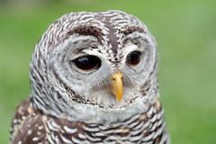 Portrait of a barred owl. Closeup of the face of a barred owl, Strix varia, with the beak closed stock image