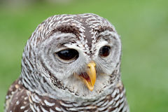 Portrait of a barred owl. Closeup of the face of a barred owl, Strix varia, with the beak open royalty free stock photo