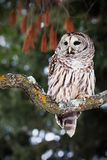 Portrait of a barred owl. Barred owl perched on a lichen covered branch Stock Photos