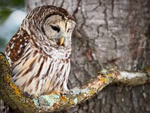 Portrait of a barred owl. Barred owl sitting on a lichen covered branch Stock Images