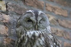 Portrait of a barred owl winking in front of a brick wall. royalty free stock photo