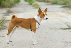Portrait of Basenji dog Stock Photography