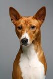 Portrait of a basenji dog Stock Photo