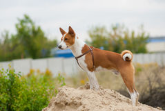 Portrait of Basenji dog Royalty Free Stock Photos