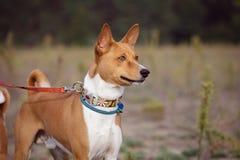 Portrait of Basenji dogs outdoors Stock Photos
