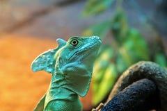 Portrait basiliscus plumifrons closeup Stock Photography