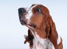 Portrait of basset-haund Royalty Free Stock Image