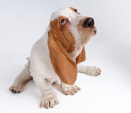 Portrait of basset-haund puppy Royalty Free Stock Photo