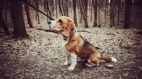 Portrait of a Basset Hound outdoors. In the park royalty free stock photography