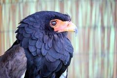 Portrait of a Bataleur Eagle Terathopius Ecaudatus with its distinctive black ruff and orange hooked beak.  stock photos