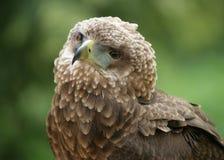 Portrait of a Bateleur Eagle. Portrait of a male Bateleur Eagle Stock Photo