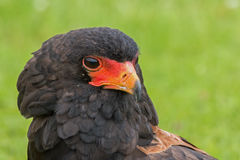 Portrait of a Bateleur Eagle Royalty Free Stock Images