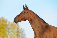 Portrait of a bay akhal-teke mare Royalty Free Stock Photos