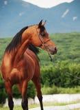 Portrait of bay arabian stallion at mountain background.  Stock Photo